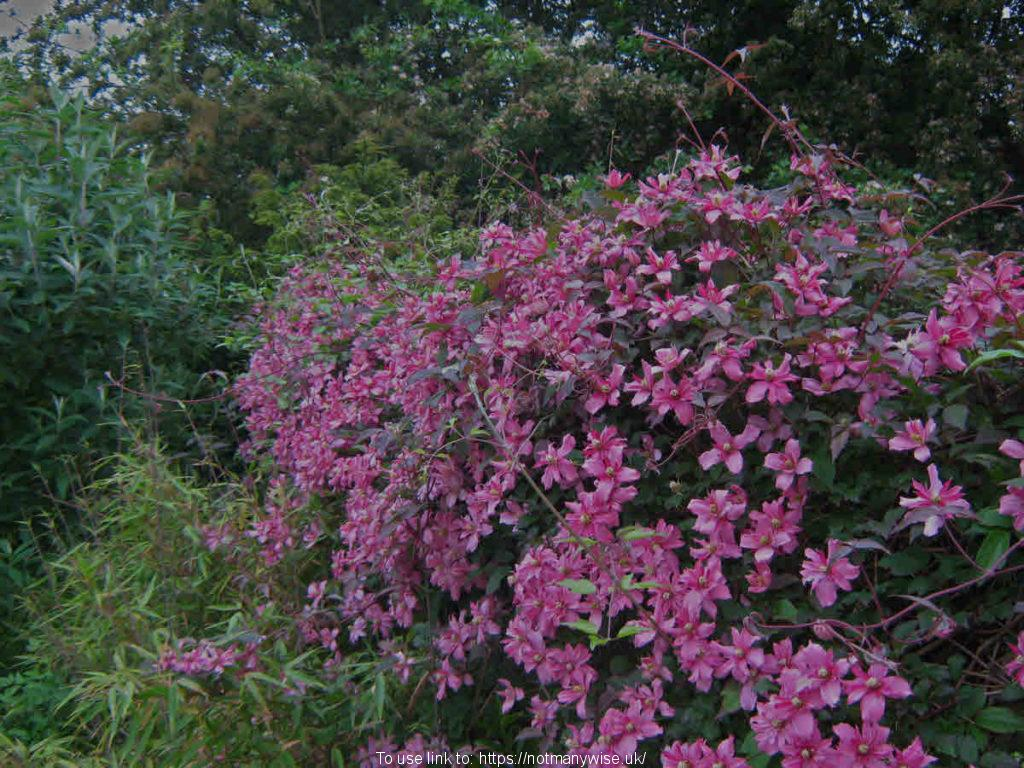 Clematis, bamboo, shrubs and trees.