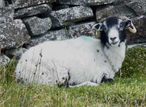 A sheep by a dry stone wall.