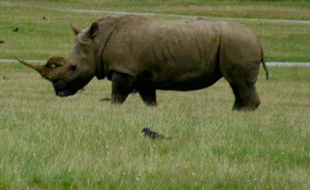 Rhinoceros standing in short grass.