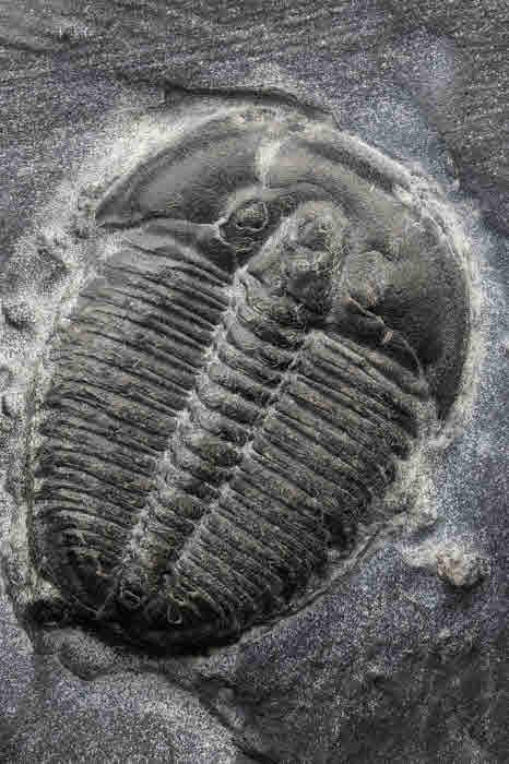 Trilobite fossil.
