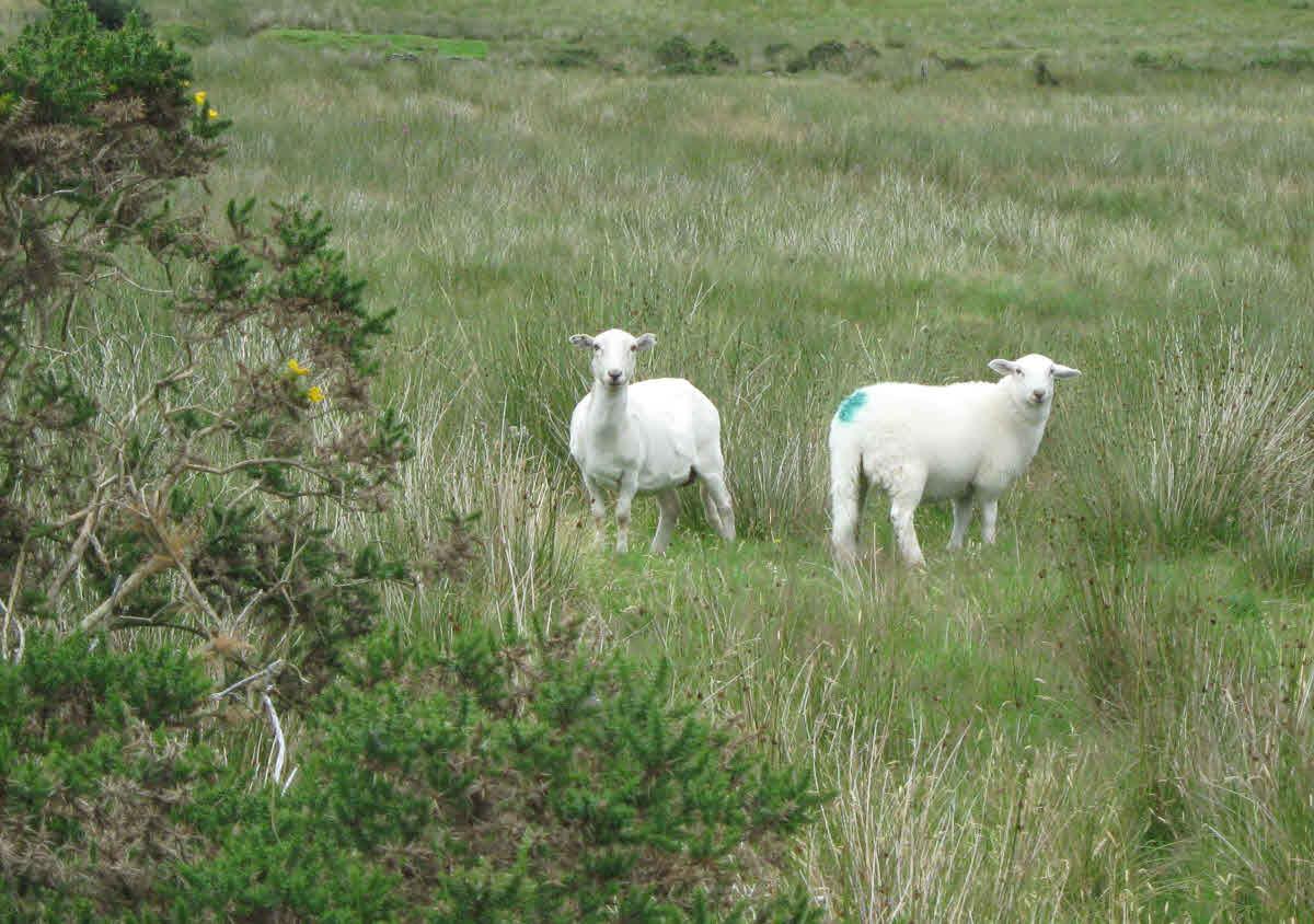 Two sheep in Welsh field.