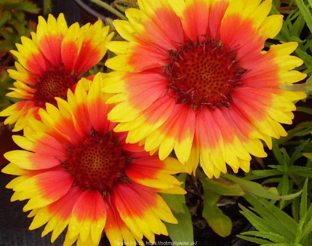 Beautiful flowers, gaillardia Bijou. Some flowers will lift us for a while.