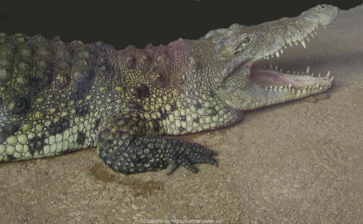 Crocodile with open jaws showing it's teeth.