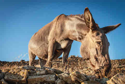 A donkey trying to eat in a desert region.