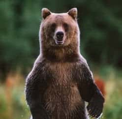 Grizzly Bear standing up. Who is God is he unpredictable?