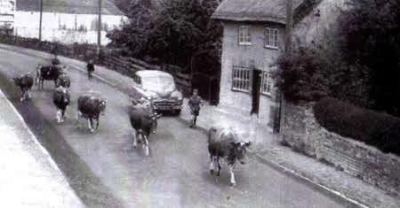 Cows walking down Earith High Street.