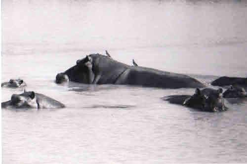 Six nearly submerged Hippo.