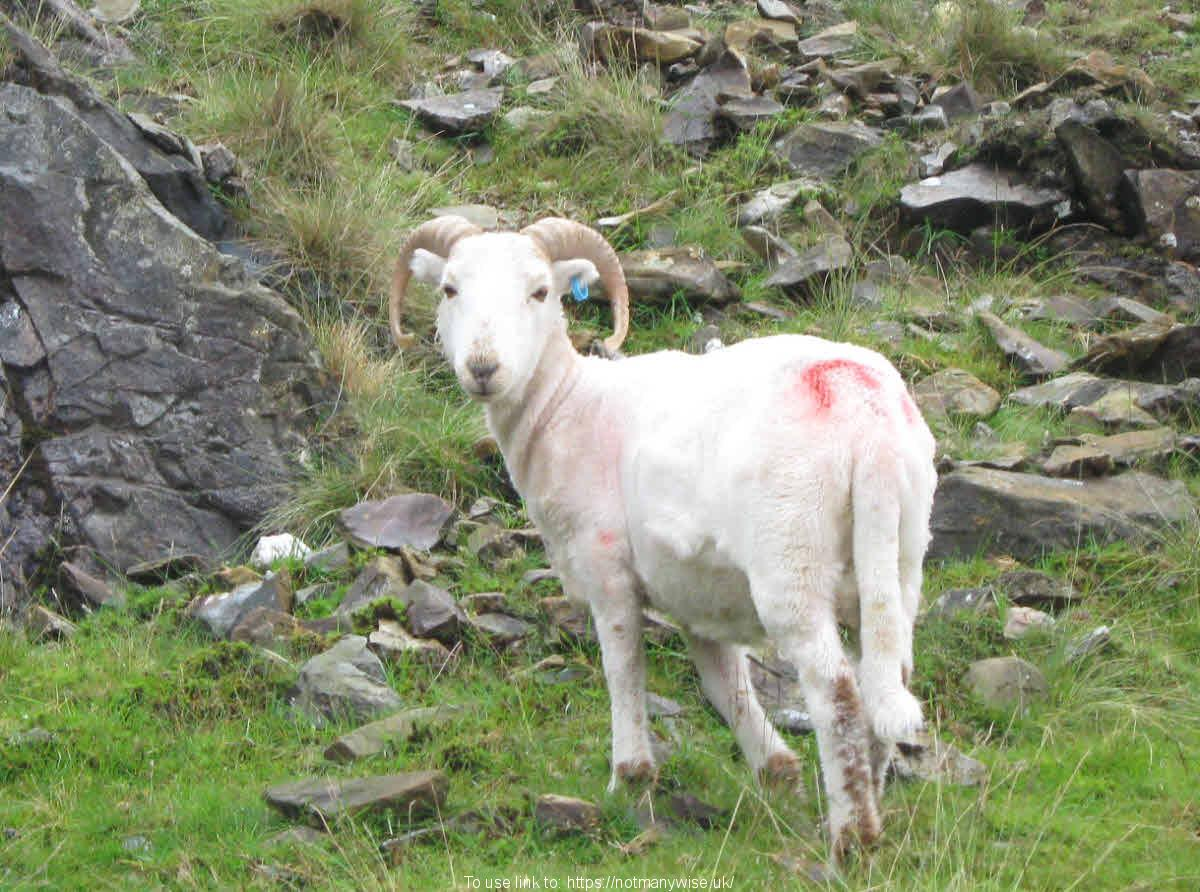 A horned sheep on rocky hillside.