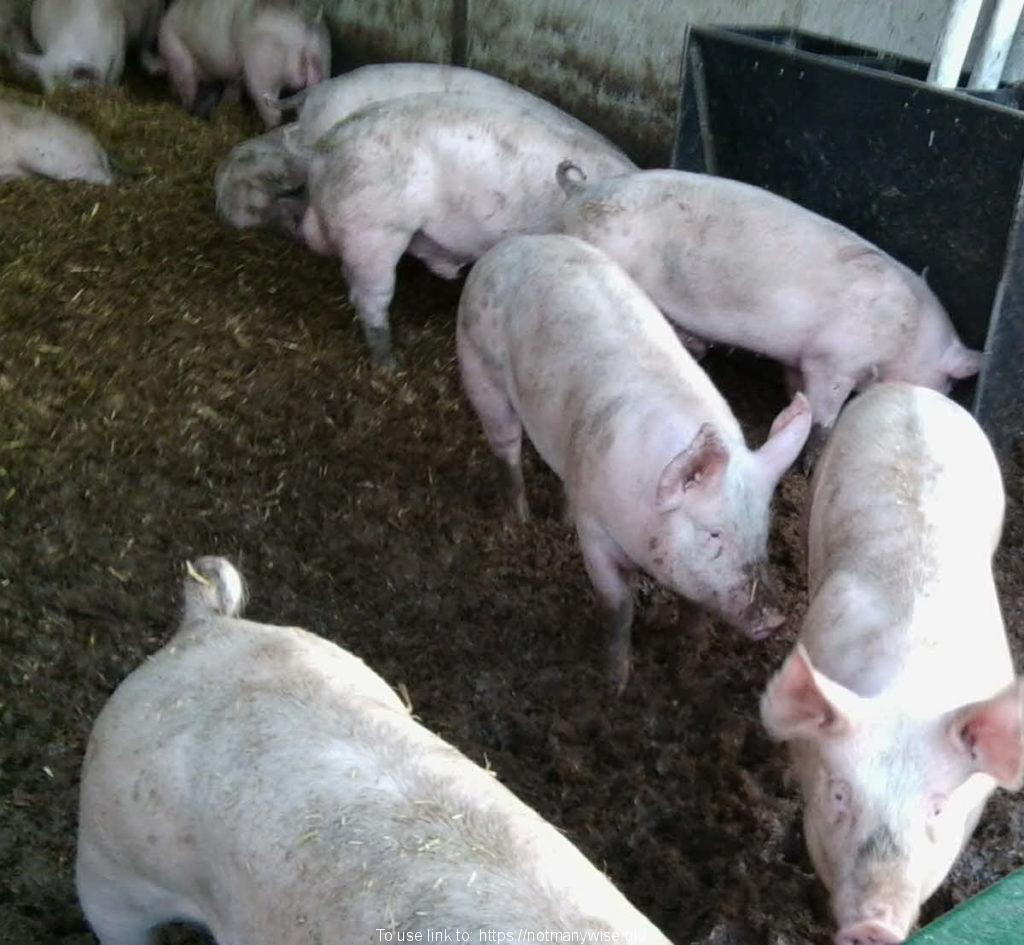 Really smelly pigs in a pen.