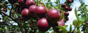 Beautiful ripe fruit - red apples.