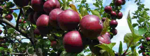 Beautiful ripe fruit - red apples. Personal fruit to prevent issues with the Holy Spirit.
