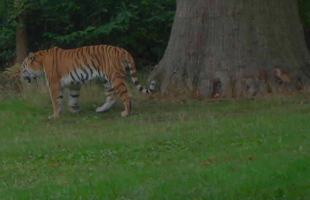 Tiger walking near trees.