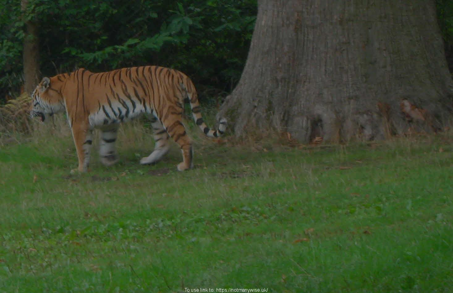 Tiger walking by trees.