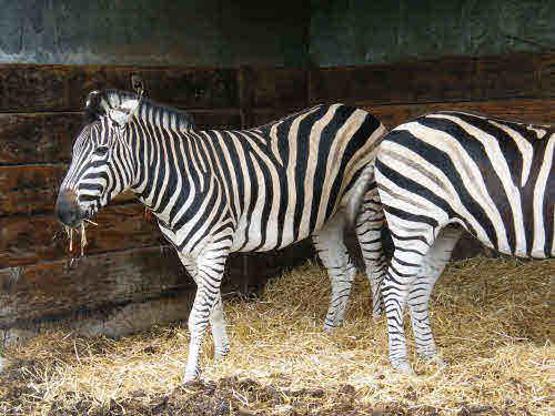 Two zebra.